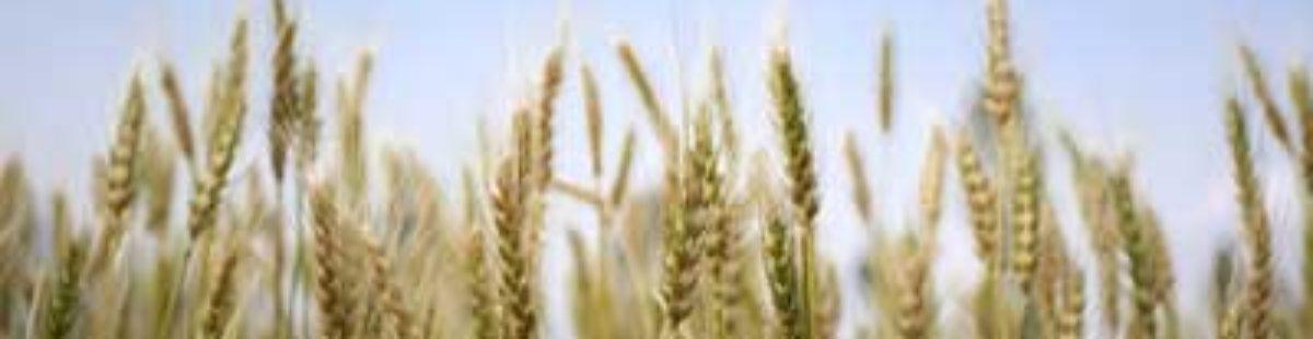 Korn og gluten