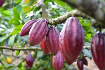 kakao tre
